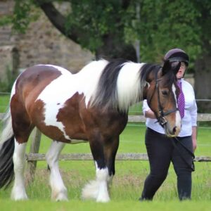 Tilly 15hh cob mare
